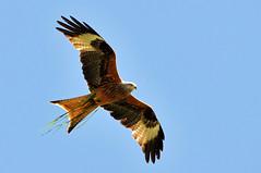 Vegetarian kite? photo by Tambako the Jaguar