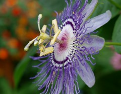 Passion Flower photo by Shutterfool
