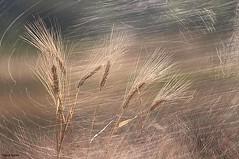 Il vento gioca con le Spighe di Grano.... photo by Tiziano Taddei
