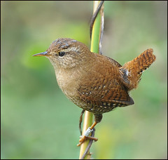 Wren photo by jimmyedmonds