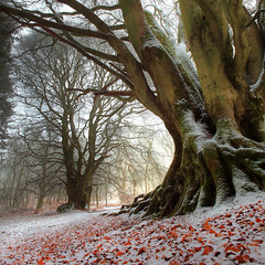 Winter Beech photo by angus clyne