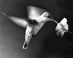 BW Hummer photo by risquillo