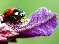 End of the leaf, game over... Ladybug eating aphid (favorite food) photo by Dialed-in!