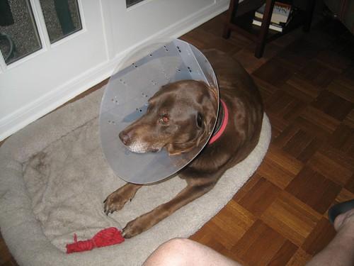 Hank in his cone
