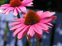 Cone Flowers - Meredith Test Garden photo by Don3rdSE