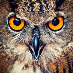 Eagle Owl Eyes photo by Allard Schager