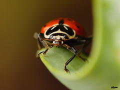 Close-up of a Ladybug photo by billcoo