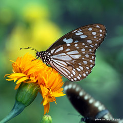 Butterflies are self propelled flowers. photo by AgniMax