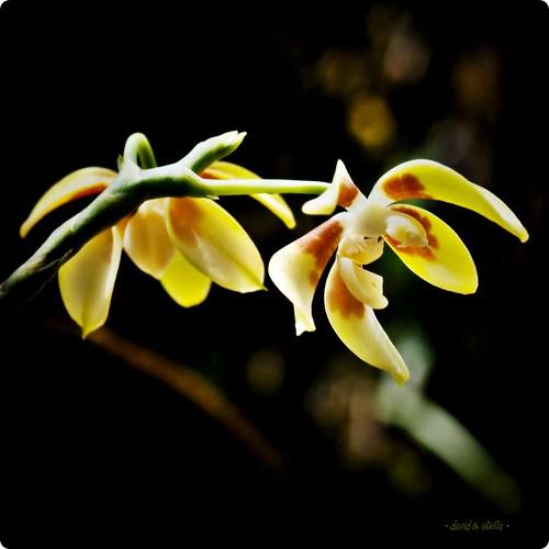 The Darkened Phalaenopsis {phal. fuscata}