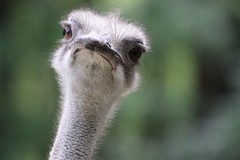 Nosey Ostrich photo by mikel.hendriks