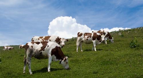 Cows @ Chalet du Suchet