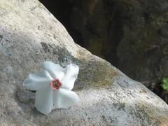 Sea mango: Fallen flower on the stone