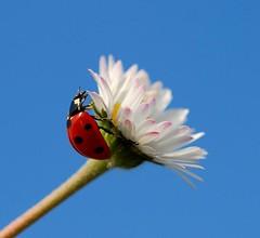 ladybug meets daisy photo by daaynos