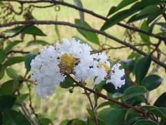 Crape-myrtle: White