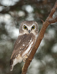 Northern Saw-Whet Owl photo by Steve Gilchrist