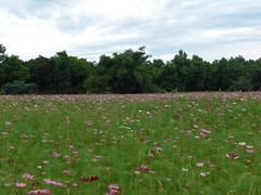 Cosmos Field: In the wind