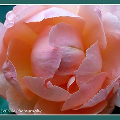 BASHFUL ROSE photo by RUSSIANTEXAN ©