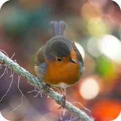 Christmas Bokeh Robin photo by Natasha Bridges