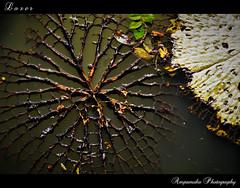 Loser (Dry Lotus Leaf) / พ่ายแพ้ (ใบบัวแห้ง) photo by AmpamukA
