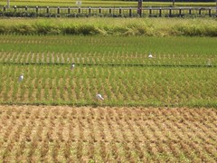 Egrets in the farm