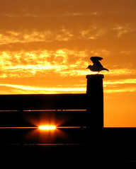 Sunset Seagull on Groyne 2 photo by Keith Marshall