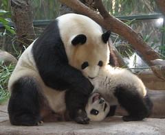 Cirque Du Soleil - Panda style