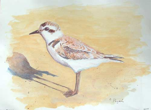 Endangered Species : The Snowy Plover, and Oregon shorebird - acrylic on paper