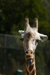 Giraffe-07