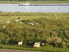 Rhine Sheep 0805 010
