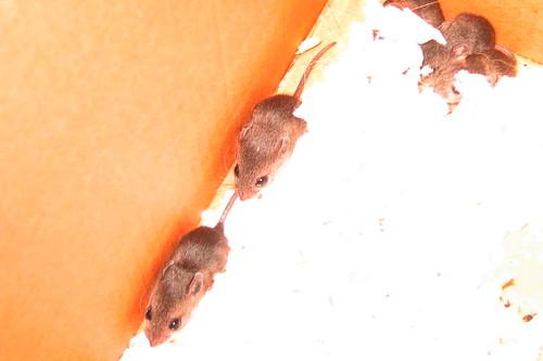 Baby mice