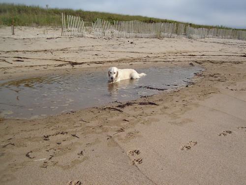 Frisket in a tidal pool on Amagansett beach