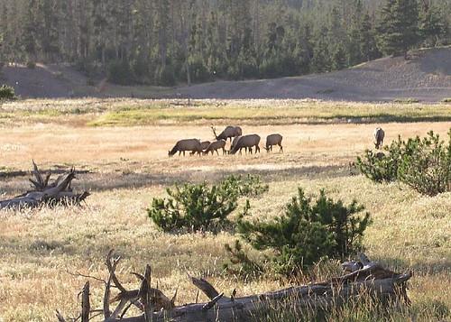 elk_or_caribou
