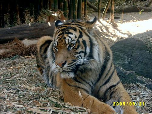Тигър в Taronga Zoo