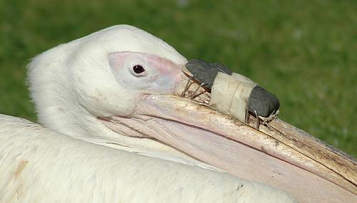 pelican // Pelikan