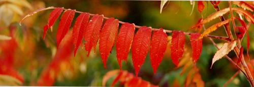 vtpano103-Autumn-Red-Sumac