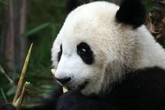 Panda Breeding Centre, Chengdu