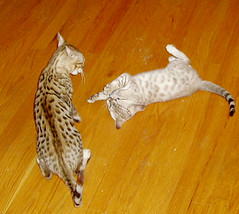 kittens in play
