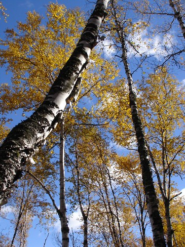 birch\_and\_sky