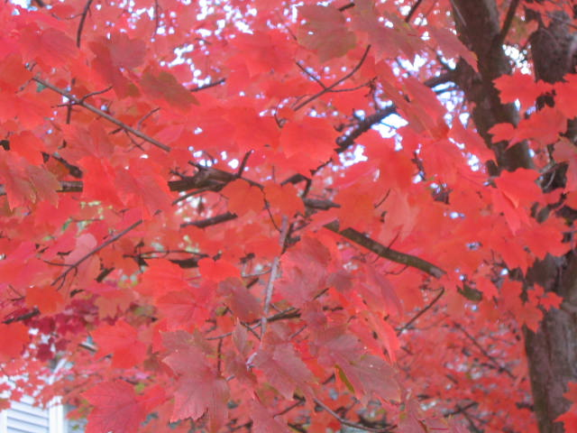 Maple Leaves (Red)