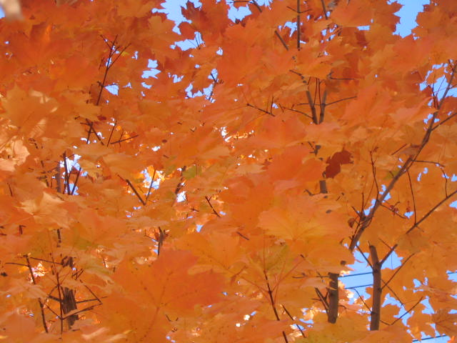 Maple Leaves (Orange)