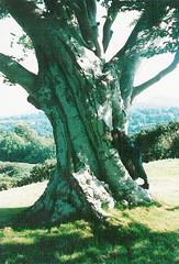 treenymph