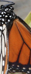 Butterfly Detail