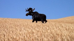 Moose on the Palouse 4 photo by North Idaho Dad