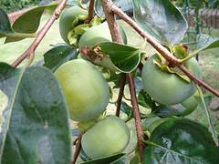 9月初旬の柿