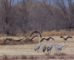 Sandhill cranes with geese