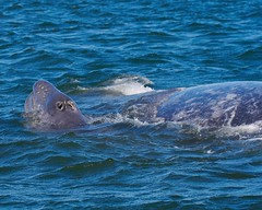 Gray Whale And Baby