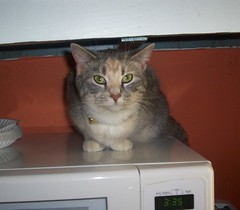 microwave kitty