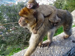 Barbary Apes on Gibraltar