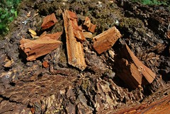 7d. Fungus Rot, Brittle, Cubic Decayed Wood Photo