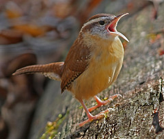 Wren's song photo by asparks306